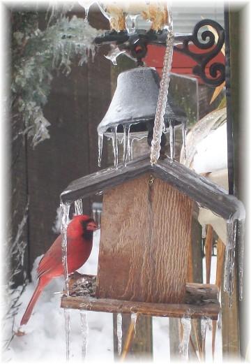 Cardinal at feeder 2/2/11
