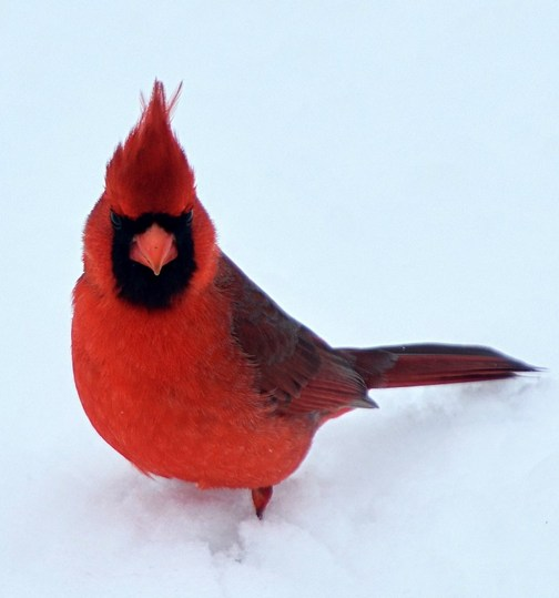 Cardinal in snow (Cerwin High)