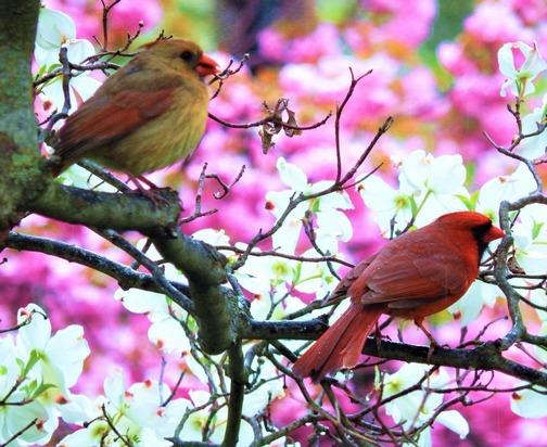 Cardinal couple (Lamar Dourte)