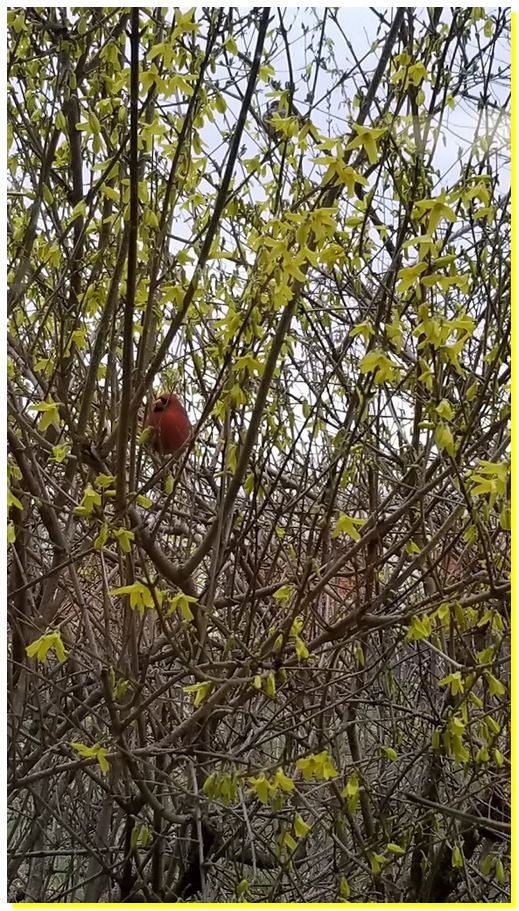 Cardinal in Forsythia 4/9/19 Walter from White Oak