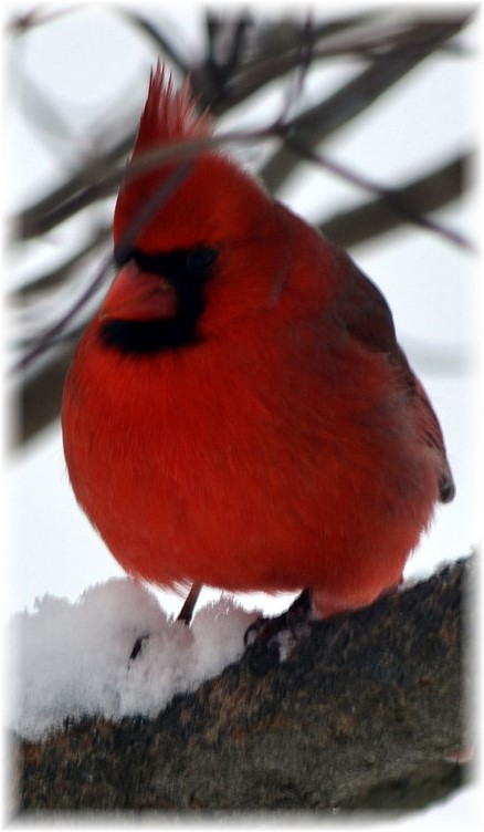 Cardinal in snow (Photo by Doris High)