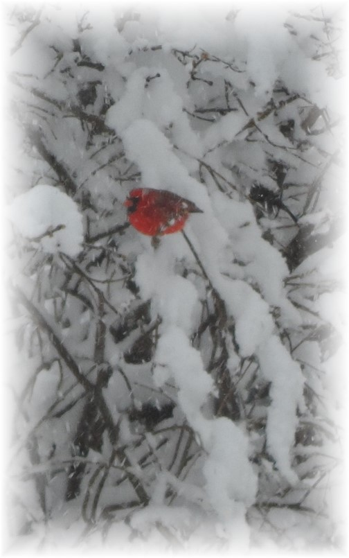 Cardinal in snowy tree 2/4/14