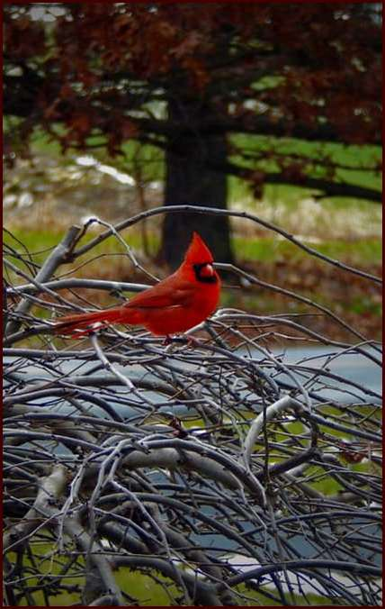 Cardinal in tree in our front lawn 1/20/19 (Photo by Ester)