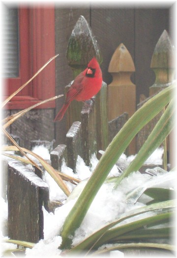 Cardinal on fence in snow (1/18/11)