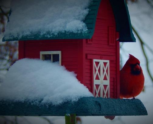 Cardinal on our barn feeder (Ester)