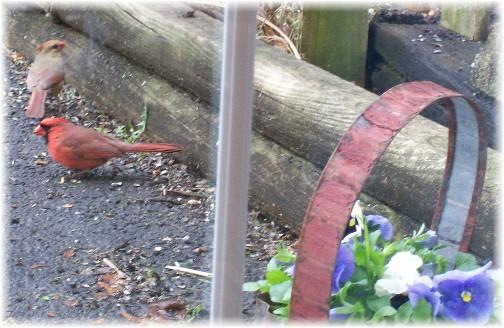 Cardinal couple 4/12/11