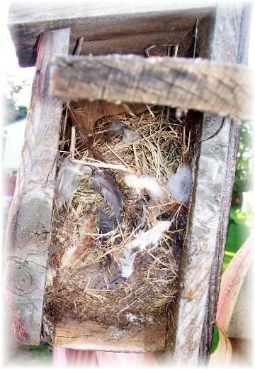 Nest in birdhouse 5/9/11