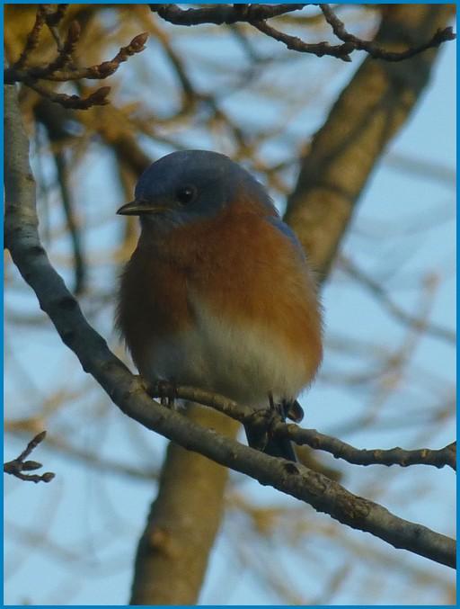 Bluebird along Donegal Creek (Joshua Binkley)