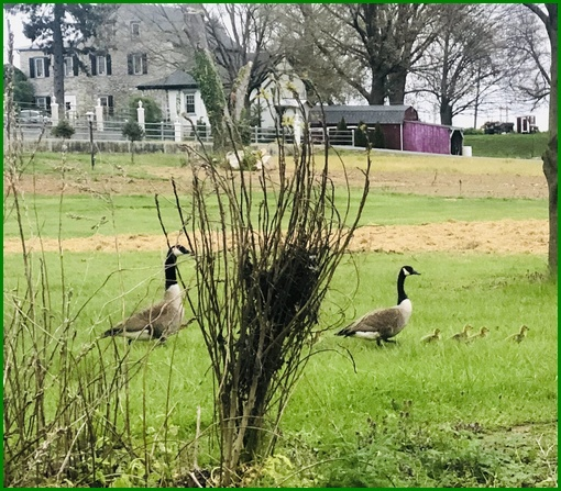 Canada Geese family near Donegal Creek