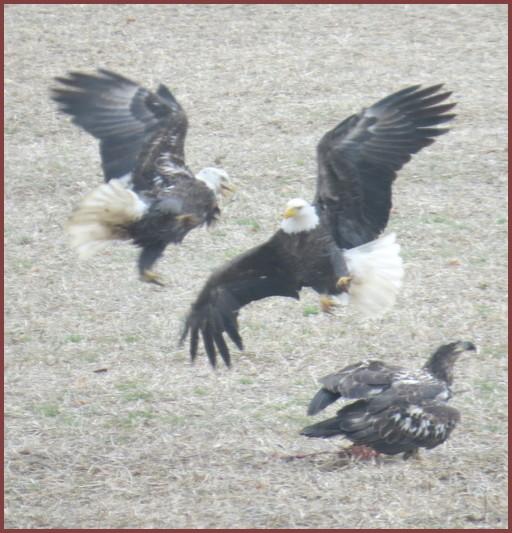 Eagles along Donegal Creek (Joshua Binkley)