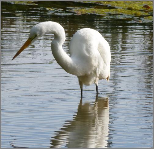 Great White Egret on Donegal Creek (Joshua Binkley)