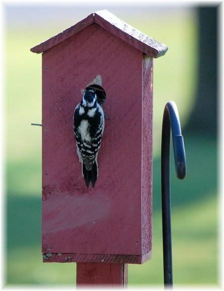 Downy woodpecker (photo by Doris High)