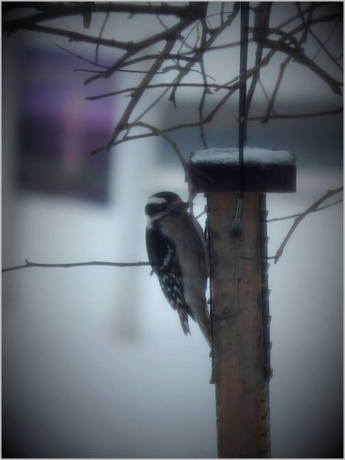 Downy woodpecker in snow 1/30/19 (Ester)