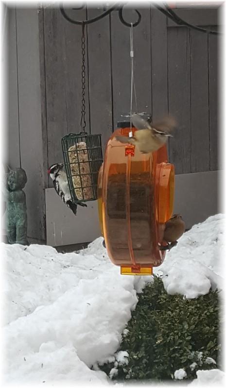 Downy woodpecker 2/15/16