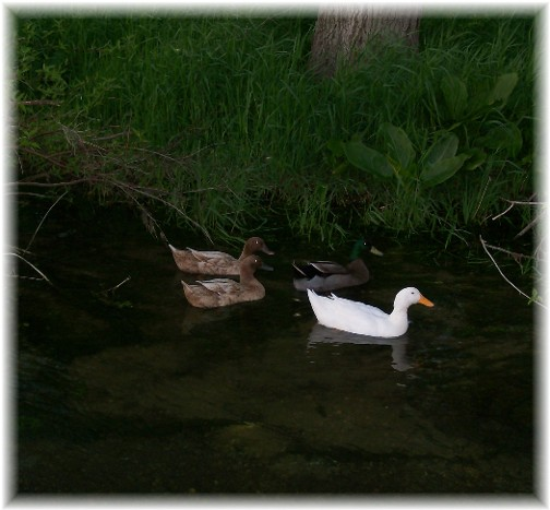 Donegal Creek ducks 5/5/11