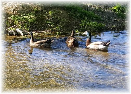 Ducks on Donegal Creek 5/15/17
