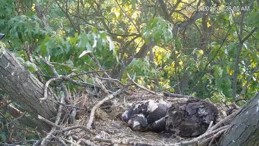 Eagle cam, York County, PA 5/15/19