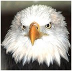 Eagle face (Credit to https://ar.m.wikipedia.org/wiki/%D9%85%D9%84%D9%81:DollywoodBaldEagle.jpg
