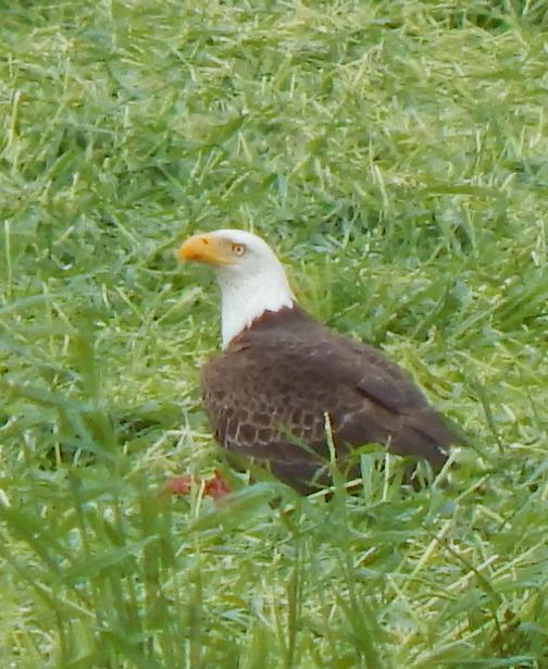 Eagle in rye field