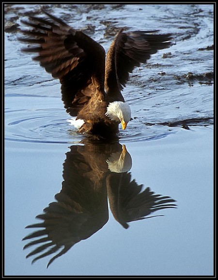 Eagle reflection (photographer unknown)