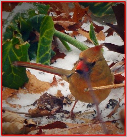 female cardinal (Ester)