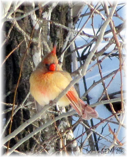 Female cardinal (Photo by Georgia)