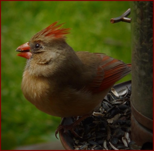Female cardinal (photo by Ester)