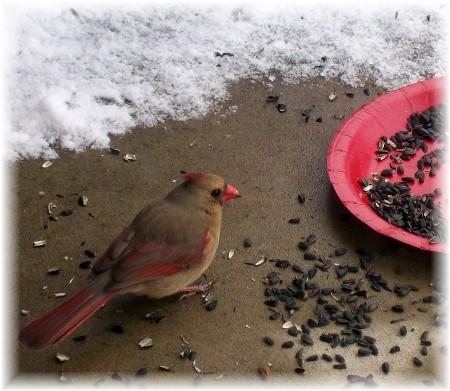 Female cardinal 2/6/10