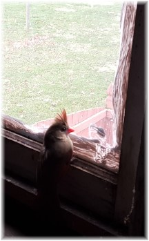 Female cardinal stuck in barn