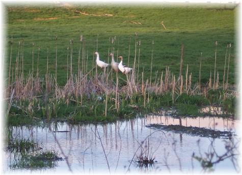 Geese across Donegal Creek