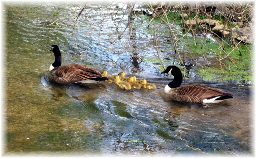 Geese Family on Donegal Creek 4/17/12