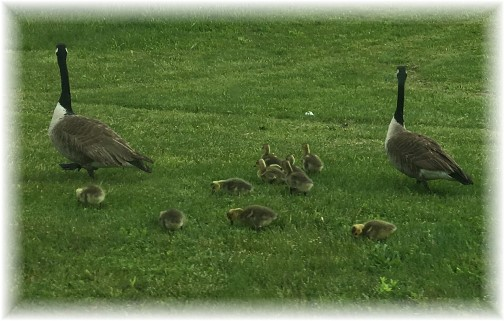 Geese family 5/12/17