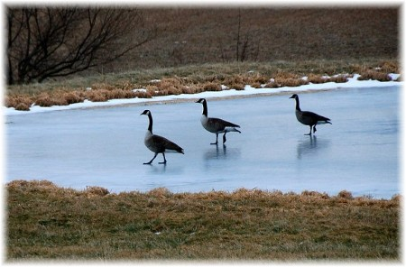 Canadian geese on ice (photo by Doris High)