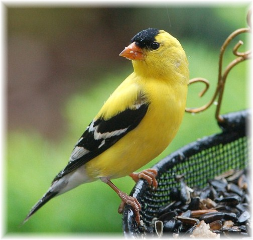 Gold finch (photo by Doris High)