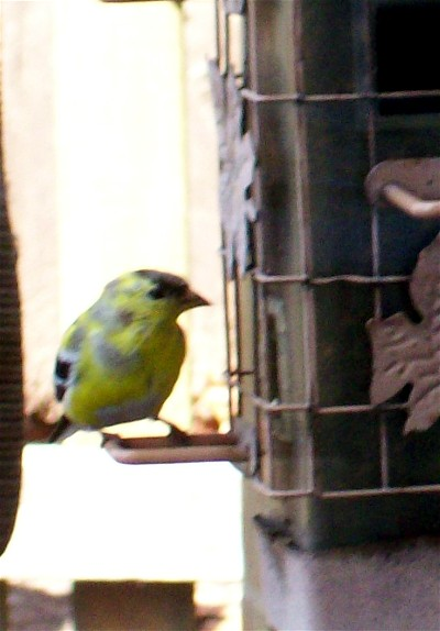 Photo of Goldfinch 3/31/09