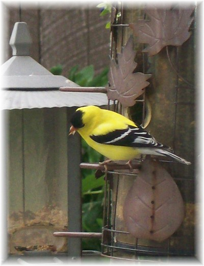 Gold Finch in front of Weber's home office