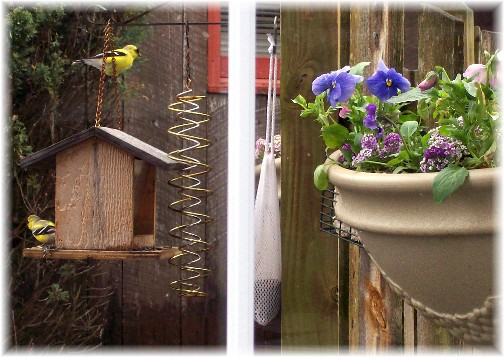 Gold Finches 4/12/11
