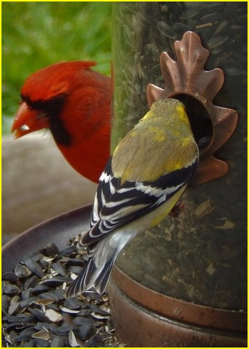 Gold Finch and male cardinal (photo by Ester)