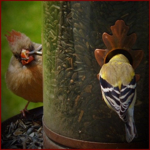 Gold Finch and female cardinal (photo by Ester)