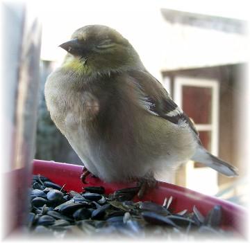 Goldfinch closeup