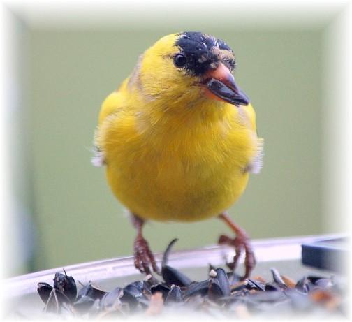 Goldfinch (photo by Doris High)