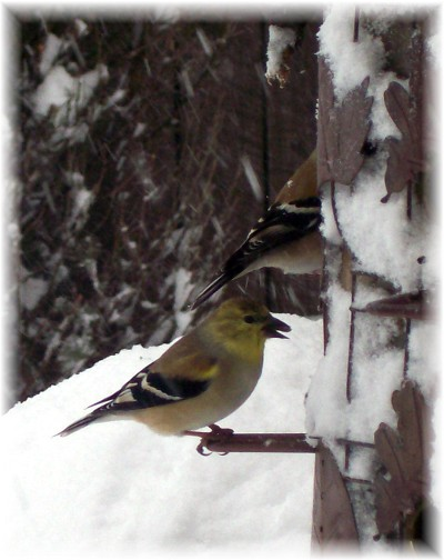 Goldfinches in snow 2/10/10