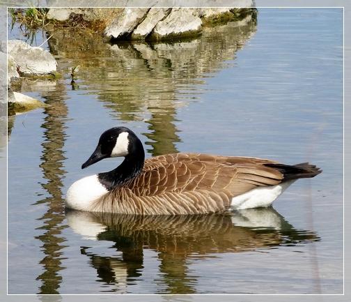 Canada Goose (Photo by Steven Binkley)