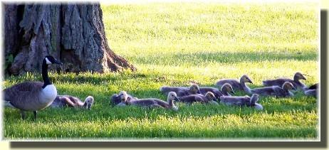 Goslings on Meeting House Run Road