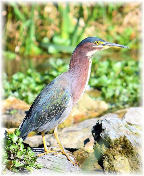 Green Heron (photo by Doug Maxwell)