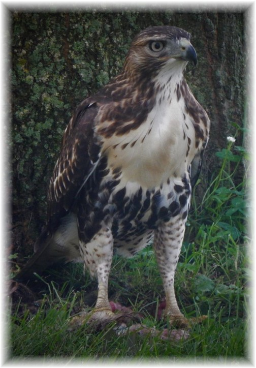 Hawk near front yard oak 8/22/17 (Ester Weber)