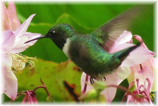 Hummingbird (photo by Georgia M.)