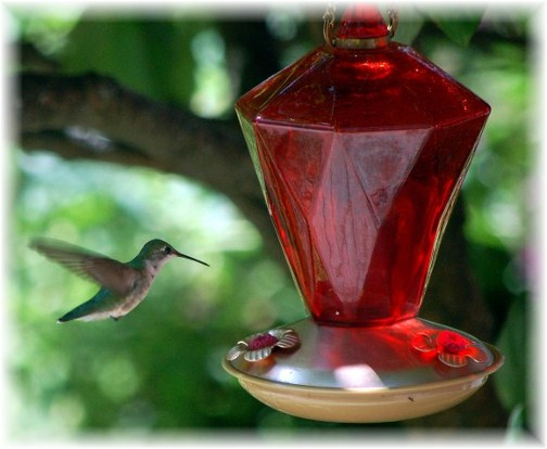 Hummingbird at feeder (Doris High)
