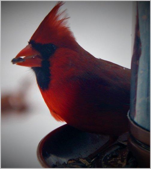 Male cardinal in snow 1/30/19 (Ester)