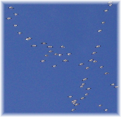 Migrating snow geese 3/8/11